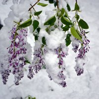 Под тяжестью снега... :: Nina Streapan