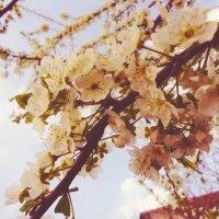 Цвет вишни :: Виктория Власова