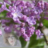 Сирень цветами        закрестилась-  в лиловой вьюге... :: Людмила Богданова (Скачко)