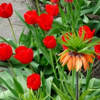 Рябчик и тюльпаны... :: Тамара (st.tamara)