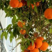 Солнечные апельсины :: Татьяна Буркина