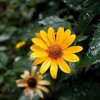 Желтый цветок после дождя :: Дубовцев Евгений