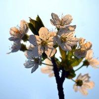 Ох, как цветет черешня! :: Nina Streapan