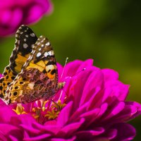 Бабочка Репейница :: Valentina M.