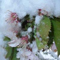 Яблоня в снегу :: svetlana voskresenskai