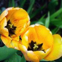 Жёлтые тюльпаны :: Вячеслав Платонов