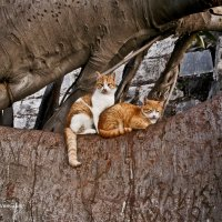 Кошки на дереве :: Константин Вергакис