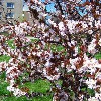 Персик цветёт...) :: Любовь К.