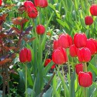 Пылают красные тюльпаны... :: Тамара (st.tamara)