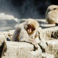 Snow Monkey :: Станислав Маун