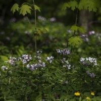 Под сенью весеннего леса. :: Svetlana