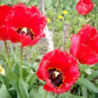 Тюльпаны :: Serg