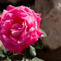 Кипрская роза :: Татьяна Буркина