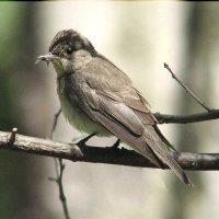 славка-черноголовка-самец :: Gavrila68 -Женя