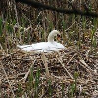 Лебедь-самка на гнезде :: Маргарита Батырева