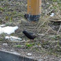 Птичье ГБ (за столбом), следит за облико-морале собратьев :: Андрей Кротов