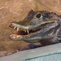 крокодил :: Владимир Габов
