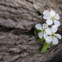 вишни цвет :: Анастасия Рогозина