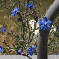 Синие полевые цветочки :: Alla S.