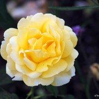 гордая красавица-роза :: Олег Лукьянов