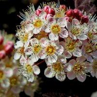 Цветы кустарника пузыреплодника :: Светлана