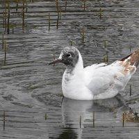 Молодая озёрная чайка :: Маргарита Батырева