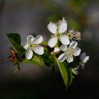 Вишни цвет :: Михаил Кашанин
