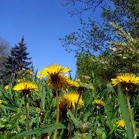 Одуванчики-значит, весна! :: Наталья