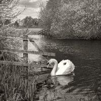 Белый лебедь :: Дмитрий Сорокин