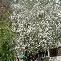 Яблонька из соседнего двора :: Нина Корешкова