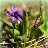 Весной фиалки радуют наш взор... :: Андрей Заломленков