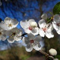 Цветение яблоньки. :: Антонина Гугаева