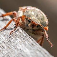 Майский жук :: Оксана Лада