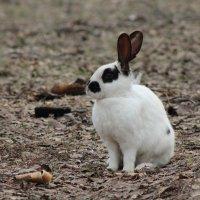 дикий кролик :: влад