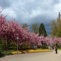 Весна в парке цветов (серия). Когда цветёт  сакура... :: Nina Yudicheva