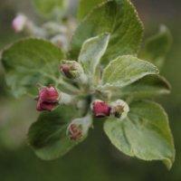 Яблоневый цвет :: Екатерина Рыбина
