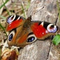 Бабочка - павлиний глаз :: Милешкин Владимир Алексеевич
