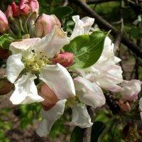 Яблони в цвету... :: Виктор Тарасюк