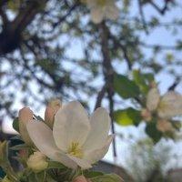 Когда яблони цветут... :: Елена Иванкина