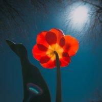 Тюльпан :: Артемий Кошелев