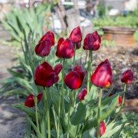 тюльпаны :: Дмитрий Потапкин