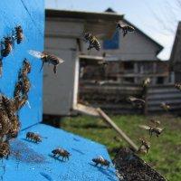 Пчелы :: Виталий