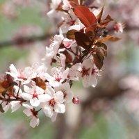 Ветка вишни :: Татьяна Баценкова