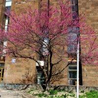 Церцис (иудино дерево) :: Нина Бутко