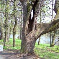 и такие бывают деревья :: Miko Baltiyskiy