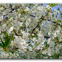 Цветы вишни. :: Чария Зоя