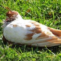 Рыженькая голубка :: Маргарита Батырева