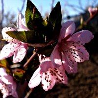 Цветки персика :: mAri