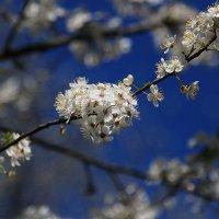 Весеннее цветение :: Татьяна Панчешная