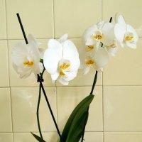 Люблю орхидеи :: Galina Belugina